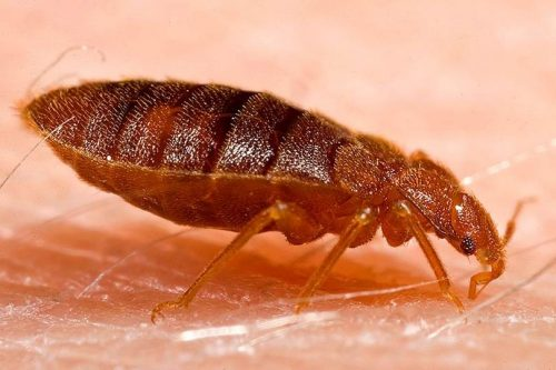 up close view of bed bug
