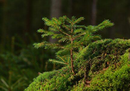 Conifer forest seedling